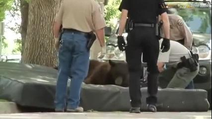 Спяща мечка пада от дърво