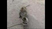 Маймуни учат малките си как да си чистят зъбите