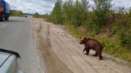 Мечка пресича пътя