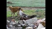 Откачена Гъска се бие с куче