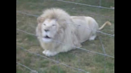 Бял Лъв Реве