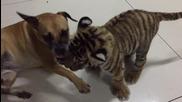 Тигърче и куче се боричкат, маймуната е рефер!