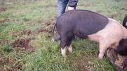 Как да изправите опашката на прасето