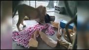 Африкански лъв не иска да заспи без ... одеалото си