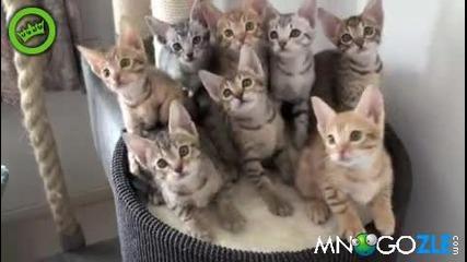 Такова нещо се вижда рядко ! 8 сладки котенца