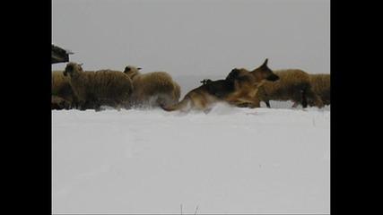 Стадо Овце