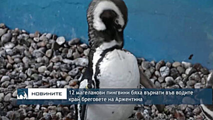 12 магеланови пингвини бяха върнати във водите край бреговете на Аржентина