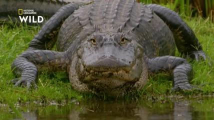 Американският алигатор