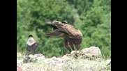 Малък креслив орел