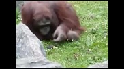 Орангутан спасява давещо се птиче