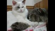 котка се обяснява на своят любим