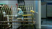 papagal igrae kuchek smqh