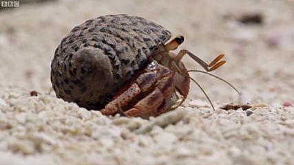 Ракът отшелник - Смяна на черупка