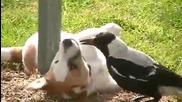 Интересно приятелство между куче и врана.