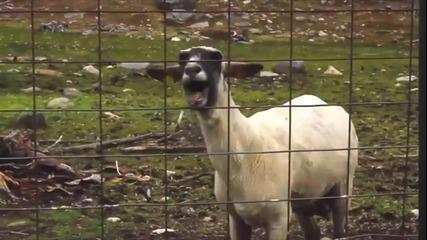 Козите и dubstep! Козистеп