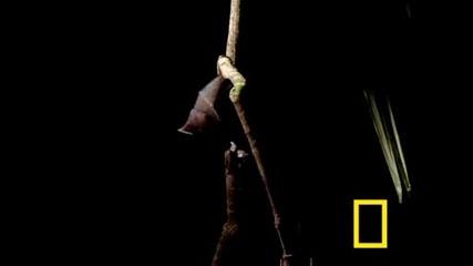 Vampire Bat vs Wrinkle Bat (national Geographic)