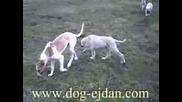 Kangal, Кангал Www.dog - Ejdan.com