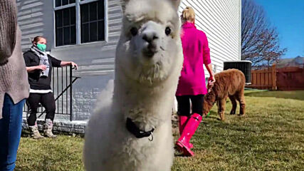 'My Pet Alpaca' brings fluffy friends to your door to fight the pandemic blues