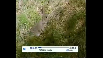 Дива котка срещу зайче