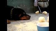 Ротвайлер напада пиленцата!