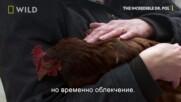 Кокошка с асцит | Невероятният д-р Пол | NG Wild Bulgaria