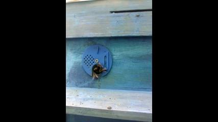 пчели разузнавачи