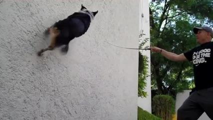 Куче ходи по стени и показва невероятни умения