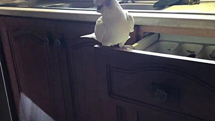 Папагал хвърля прибори на земята