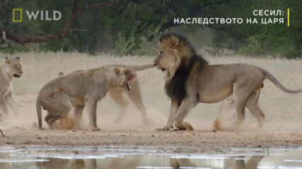 откъс от Сесил: Наследството на царя | Месец на Големите Котки | NG Wild Bulgaria