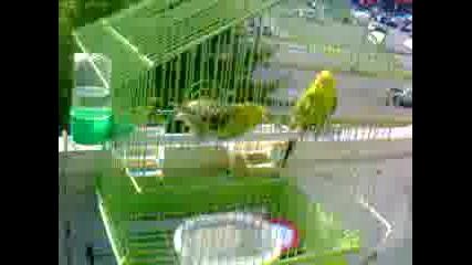 Как се къпят папагали???