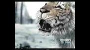 Animal Face - Off - Bear Vs Tiger