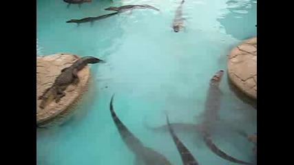 Алигатори във Florida