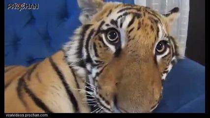 Един наистина много сладък домашен тигър
