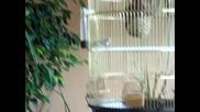 амадинки си правят гнездо