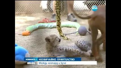 Гепард и домашно куче – неразделни приятели - Новините на Нова