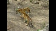 битка между тигри
