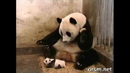 майка панда страхува от малка панда - голям смях