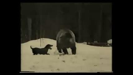 териери - срещу мечка