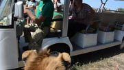 A rip-roaring time! LION breaks into tourist vehicle on Crimea safari tour