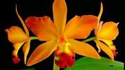 Нежност орхидеи - за приятели
