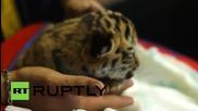 Три сладки тигърчета са перфектната компания за игра