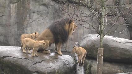 Лъвчета играят с баща си