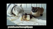Питбул Котка И Пилета
