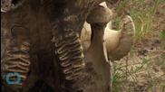 Само за 5 г. бракониерите са избили почти половината слонове на Мозамбик