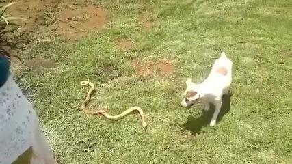 Куче срещу кобра!