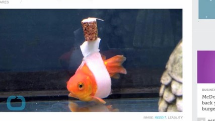 Goldfish Who Can't Swim Upright Gets Wheelchair