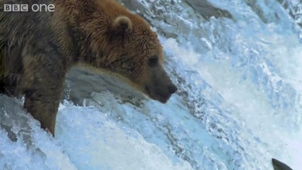Hd_ Grizzly Bears Catching Salmon - Nature's Great Events_ The Great Salmon Run - Bbc One