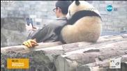 Бебе-панда позира за селфи с гледача си
