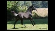 Windtriste Arabians Sheykh Obeyd Egyptians