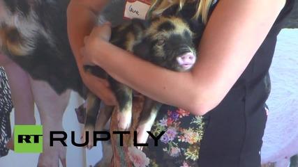 UK: Oink-dorable! Pop-up pig cafe sets up shop in London